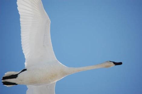 swan1a