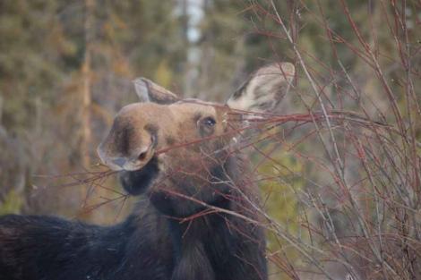 moose sm