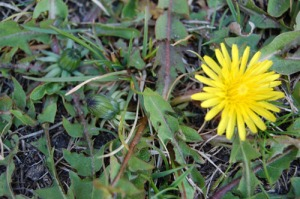 April 29 Dandelion