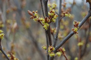 May 6 Soapberry