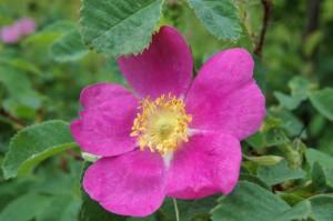 June 10 Wild rose