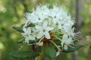 June 16 Labrador tea