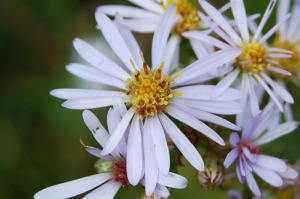 August 5 aster