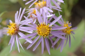 August 12 Showy aster