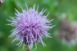 August 19 Canada thistle